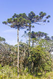 Araucaria angustifolia Stock Photos