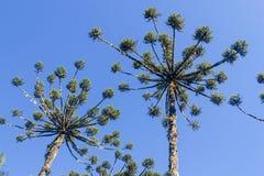 Araucaria angustifolia Royalty Free Stock Photos