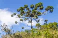 Araucaria angustifolia Stock Images