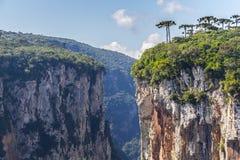 Araucaria angustifolia at Itaimbezinho Canyon Royalty Free Stock Photos