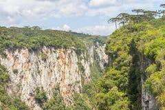 Araucaria angustifolia at Itaimbezinho Canyon Royalty Free Stock Photo
