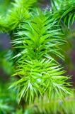 Araucaria angustifolia. (Paraná pine, Brazilian pine or candelabra tree) plant after a rain Royalty Free Stock Image