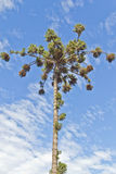 Araucaria angustifolia. The Parana pine Stock Images