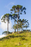 Araucaria angustifolia trees. Group of Araucaria angustifolia trees in Cambara do Sul, Rio Grande do Sul, Brazil Stock Photos