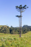 Araucaria angustifolia Stock Photography