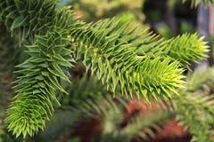 Araucaria araucana. Beautiful nature of the Crimea. Stock Photo