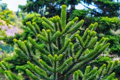 Araucaria araucana or Chilean pine - evergreen conifer tree. Branch with soft needles, growing in a garden Stock Image
