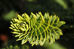 Araucaria araucana. A close-up of a Monkey Puzzle Tree branch in sunlight Royalty Free Stock Photos