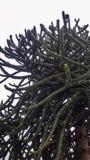 Araucaria araucana - de boom van het aapraadsel royalty-vrije stock foto's