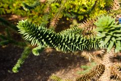 Araucaria araucana. Detail araucaria tree in summer Stock Photos