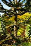 Araucaria araucana. Detail araucaria tree in summer Royalty Free Stock Photography
