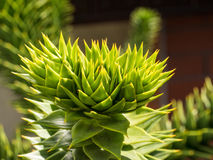 Araucaria araucana. Monkey tail tree (Araucaria araucana) is a popular garden tree, planted for its unusual effect of the thick, 'reptilian' branches with a very Stock Photography