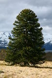 Araucaria araucana (Pehuen or Monkey-puzzle) tree. Araucaria araucana (Pehuen or Monkey-puzzle), and old growth evergreen found in Argentina and Chile Royalty Free Stock Photography