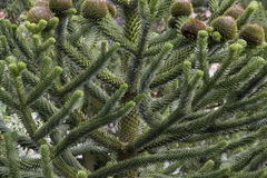 Araucaria araucana Stock Photography