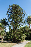 Araucaria araucana tree parks nerves. Parks nerves tree Araucaria araucana Stock Photo