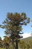Araucaria, symbol of Chile. Araucaria Araucaria araucana trees in Bio bio Park Chile Royalty Free Stock Photos