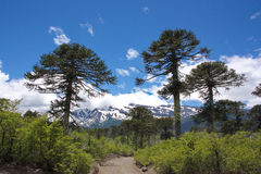 Free Araucaria Araucana Trees In The Conguillío National Park In Chile Stock Image - 83719201
