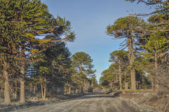 Araucaria Araucaria araucana. Trees in Bio bio Park Chile Royalty Free Stock Images