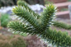 Araucaria araucaria Stock Photos