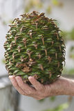 Araucaria bidwillii. The huge cone of the Araucaria bidwillii Stock Image