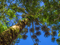Araucaria. With blue sky - Gramado city - Brazil Royalty Free Stock Images