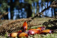 Araucaria bos met pijnboomnoten stock afbeeldingen