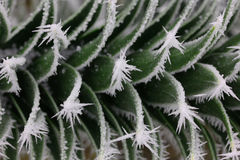 Araucaria branch with hoarfrost Stock Image