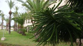 Araucaria branches with needle-like leaves under rain. Rain drops on Araucaria branch close up stock video footage