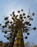 Araucaria brasileña en Monte Verde Minas Gerais fotografía de archivo libre de regalías