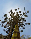 Araucaria brasiliana in Monte Verde Minas Gerais Fotografia Stock Libera da Diritti