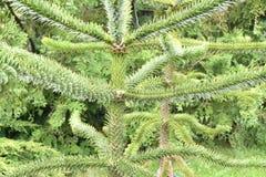 Araucaria araucaria Chilean pine tree. Monkey puzzle tree Araucaria araucaria in a garden Stock Photography