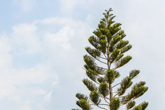 Araucaria chilensis tree. Top of araucaria chilensis tree in the blue sky Stock Photos