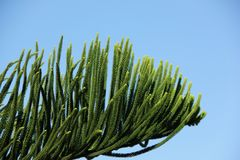 Araucaria. A close up of an Araucaria branch in Noumea, New Caledonia Royalty Free Stock Photo