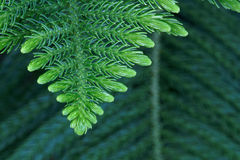 Araucaria. The close-up of leaves of araucaria. Scientific name: Araucaria cunninghamii Stock Image