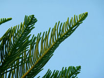 Araucaria columnaris, Cook Pine Tree Green Leaves Against Blue Sky Stock Photo
