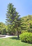 Araucaria columnaris tree. Porto, Portugal stock photos