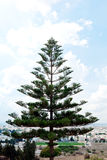 Araucaria evergreen conifer on background blue sky. Araucaria evergreen conifer on background of new Carthage Tunisia Royalty Free Stock Images