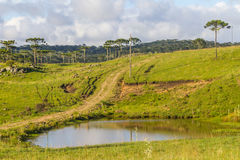 Araucaria in a farm field and small lake Royalty Free Stock Photos