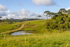 Araucaria in a farm field and small lake Royalty Free Stock Photo