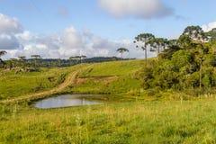 Araucaria in a farm field and small lake. Farm with Araucaria angustifolia Forest in Cambara do Sul, Rio Grande do Sul, Brazil Royalty Free Stock Photo