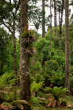 Araucaria Forest. Trunks of Araucaria angustifolia, Brazilian pine tree. A endangered specie of southern Brazil Stock Photos