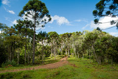 Araucaria Forest. Brazilian pine trees. A endangered specie of southern Brazil Stock Image