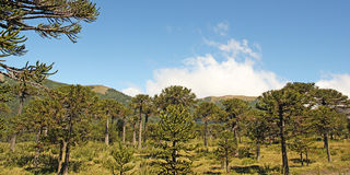 Araucaria forest, Chilean Patagonia, Chile. Stock Photo