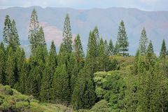 Araucaria. An Araucaria forest on the islands of New Caledonia in the South Pacific Royalty Free Stock Photo
