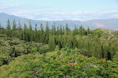 Araucaria. An Araucaria forest on the islands of New Caledonia in the South Pacific Royalty Free Stock Photography