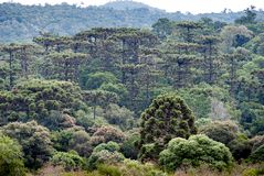 Araucaria forest in the Mountains. Mountain range with araucaria forest on the southern Brazil. The most endangered forest in Brazil Stock Photo
