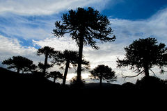 Araucaria forest silhouette. Araucaria tree in the forest. Araucaria green tree, family Araucariaceae Stock Image