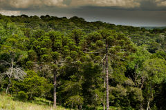Araucaria Forest. Forest with araucaria trees, endangered specie of southern Brazil Stock Image