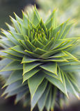 Araucaria. Green foliage closeup of araucaria Royalty Free Stock Photo
