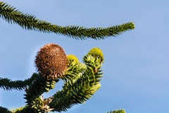 Araucaria grow evergreen trees. Cone of the Araucaria heterophylla Stock Photography